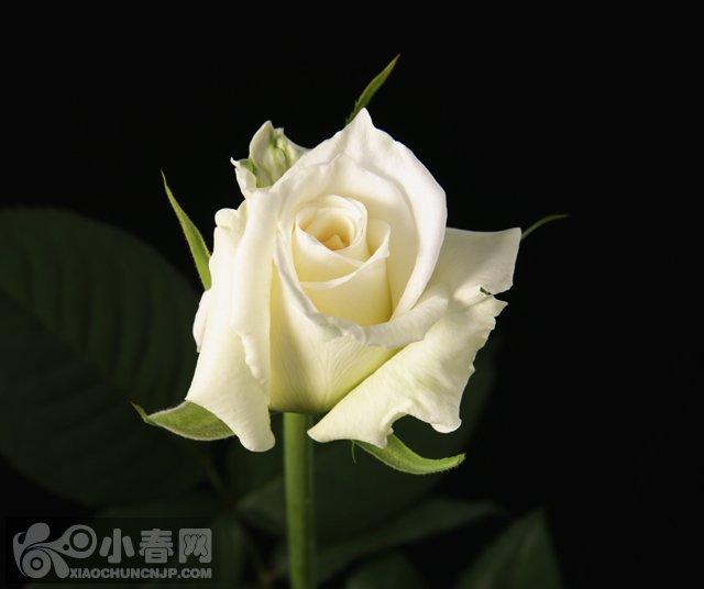 家情人节快乐 春天第一朵玫瑰 Bandari