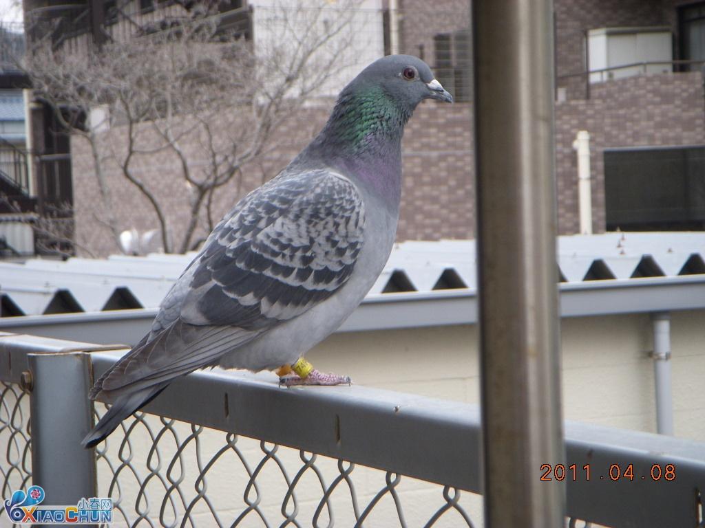 卖几只鸽子,送崭新的笼子还有半袋左右饲料图片