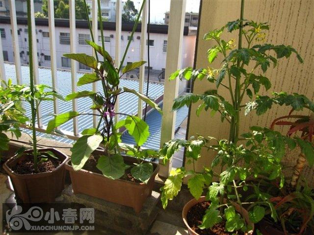 我以前种的阳台蔬菜 婚姻育儿版 小春论坛 xchun.com