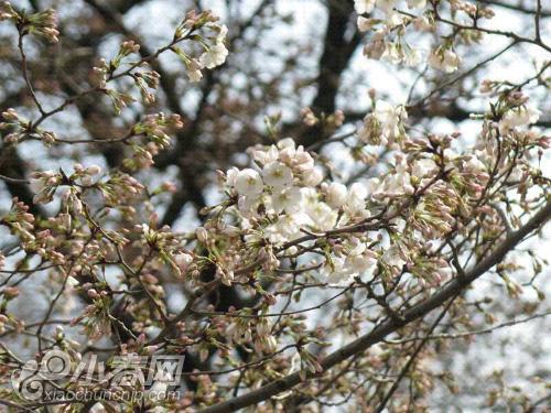期待樱花盛开!!