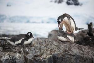 南极企鹅生存环境急剧变化
