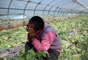云南蔬菜滞销 菜农痛心砍掉上千吨蔬菜