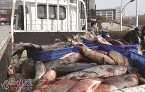 高校湖里捞出千斤大鱼 万名师生免费吃