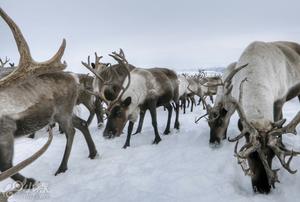 揭秘冰原驯鹿人 生吃鹿肉喝鹿血