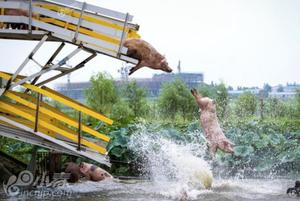 男子养猪养出新花样 天天跳水锻炼