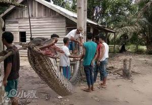 印尼男子杀死7米巨蟒