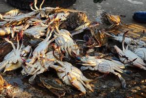 海捕梭蟹丰收 带籽母蟹百元一斤