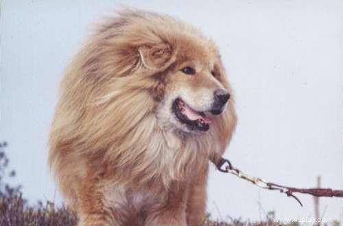 藏獒 遇到/下次上传当德国牧羊犬和藏獒遇到狮子!