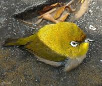 小鳥の目白