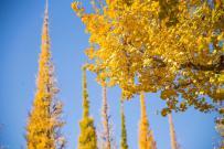秋去,冬来...银杏写真