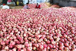 山东:1200亩苹果丰收
