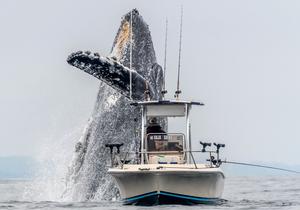 加州渔民垂钓偶遇一座头鲸从船底蹿出