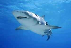 男子在夏威夷海岸附近遭鲨鱼袭击 不幸身亡