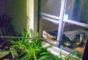 女子家中凌晨迎来 3米巨鳄 潜入厨房