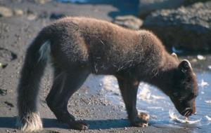 北极狐 76天3506公里从挪威到加拿大