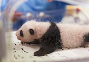 比利时双胞胎大熊猫幼仔