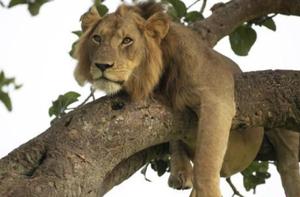 巴基斯坦一电工遭雇主放狮子咬伤