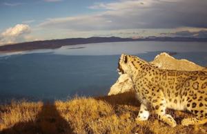 雪豹触发红外相机次数超190次
