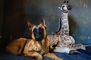 长颈鹿出生遭抛弃 与牧羊犬成好友
