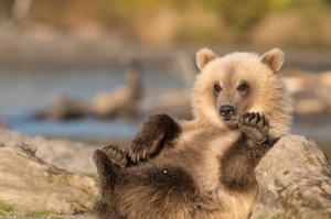 俄罗斯小棕熊对镜头卖萌