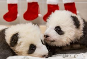 柏林动物园发布大熊猫双胞胎近照