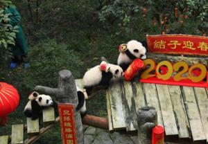 世界现存最长寿圈养大熊猫过新年