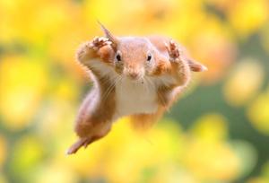 摄影师抓拍松鼠空中腾跃姿吃坚果精彩瞬间