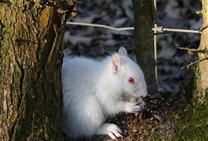 英国公园现罕见白化小松鼠