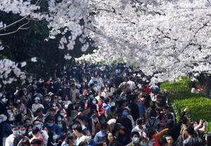 武汉大学樱花怒放迎客