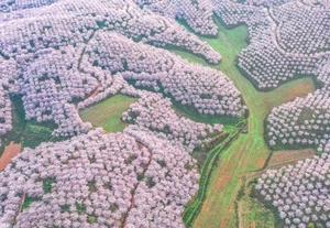 贵州安顺 樱花美景促振兴