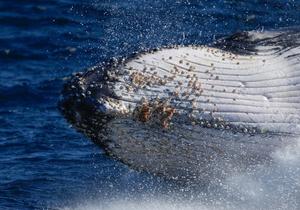 座头鲸从南极迁徙回澳大利亚繁殖