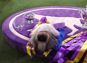 2021年威斯敏斯特犬展 京巴犬摘得桂冠