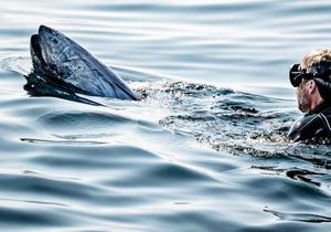 蓝鳍金枪鱼时隔50年重返丹麦海域